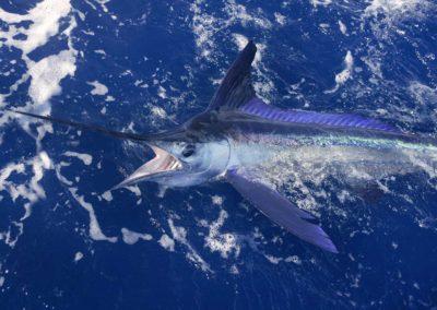 Fishing_Sailfish