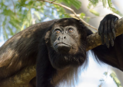 Wildlife_slider_Monkey_howler
